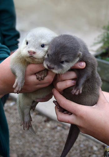 gallery for gt baby otter gif